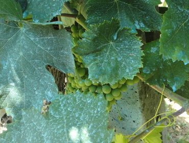 ¿Es posible hacer vino sin realizar tratamientos contra mildiu y oídio?