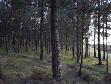 A Xunta subastará en setembro 61 lotes de madeira de piñeiro por máis de 2,5 millóns de euros