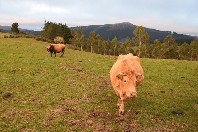 Cursos de incorporación á gandería de carne