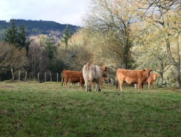 Indignación nos gandeiros portugueses polo veto da Universidade de Coimbra á carne de vaca