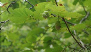 A abeleira era una de las principales especies empleada para prácticas de silvicultura.