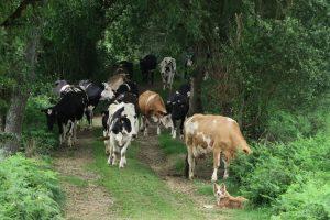 Vacas volvendo do pasto nunha gandería ecolóxica do concello da Pastoriza. A saída ao prado reduce as coxeiras