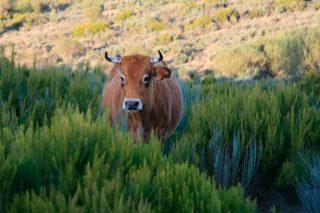 Ganderías da Veiga, o reto de producir carne nos montes máis altos de Galicia