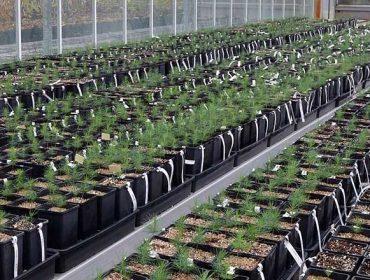 Lourizán cataloga seis proxenitores de familia de piñeiro do país resistentes ó nematodo, dos que haberá semente dispoñible este ano