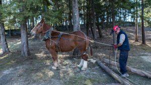 Traballos forestais con cabalos realizados nunha sesión formativa da asociación.