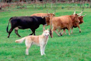 A Xunta analiza o potencial do Can de Palleiro como pastores e protectores do gando