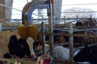 Así serán as medidas de benestar animal da Granxa Experimental de Vacún de Leite do Campus Terra
