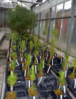Piñeiros que resistiron a tres inoculacións do nematodo, ao fondo, xunto con plantas que sobreviviron este ano, en primeiro plano.