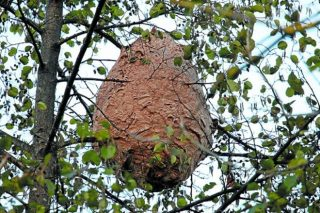 Xornadas sobre a vespa velutina e alternativas ó mel no CFEA Lourizán