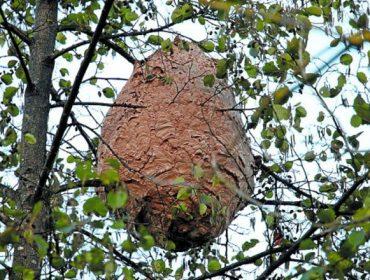 ASEFOGA estuda o efecto da vespa velutina na polinización