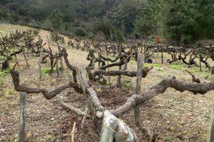 Vides centenarias que está a recuperar Adega Sidrón