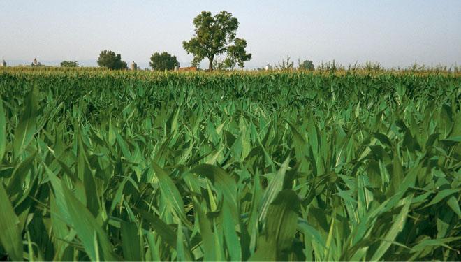 Abonos Entec®, unha ferramenta para mellorar a produtividade e calidade en millo