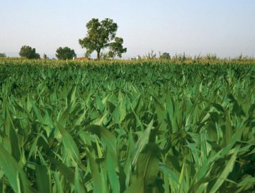Abonos Entec®, una herramienta para mejorar la productividad y calidad en maíz