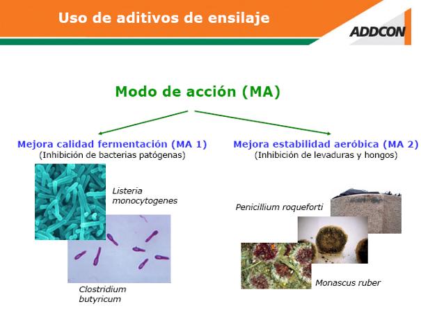 Ilustración 1 vista do clostridio con forma de escarvadentes de tambo cas súas esporas nos extremos