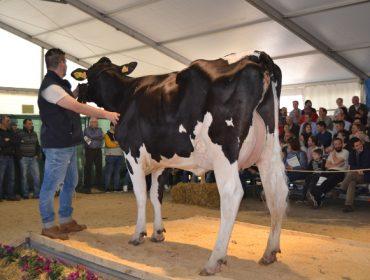 Resultados completos da poxa de gando Frisón de Boimorto: 3.250 euros por Ilma Pety 369