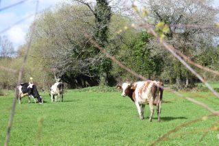 As axudas asociadas por vacas de leite quedan en 126 euros por animal e en vacas de carne en 91