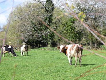 É o pastoreo unha alternativa para as ganderías actuais en Galicia?