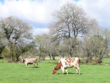 Las cooperativas gallegas estudian la continuidad de su organización de productores de leche