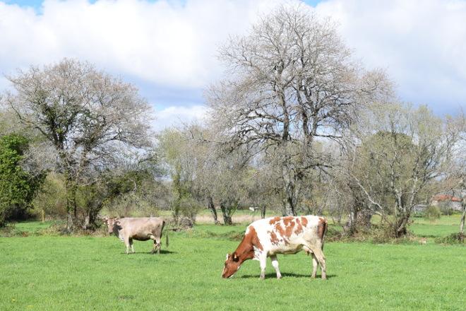 As cooperativas galegas estudan a continuidade da súa organización de produtores de leite