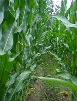 Os ensaios co fertilizante contrastaron a mellora da produtividade.