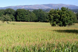 Resultados dos ensaios do Ciam coas variedades de millo forraxeiro 2019