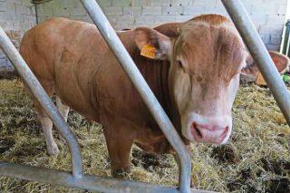 O vacún de carne non cubre custos de produción