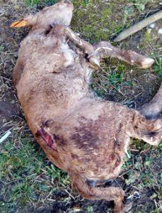 Ternero muerto en Abadín por las heridas de un ataque do lobo.