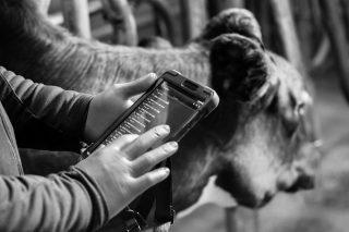 Zoetis compra Smartbow, o novo dispositivo de monitorización de vacas leiteiras