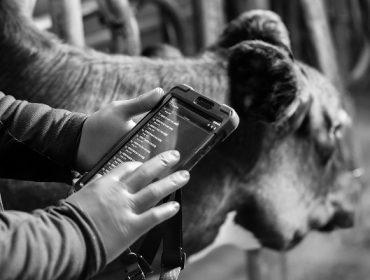Zoetis compra Smartbow, el nuevo dispositivo de monitorización de vacas lecheras