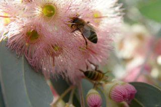Advirten de que a corta dos eucaliptos vellos pon en perigo a apicultura en Galicia