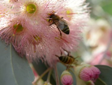 Advierten de que la tala de los eucaliptos viejos pone en peligro la apicultura en Galicia