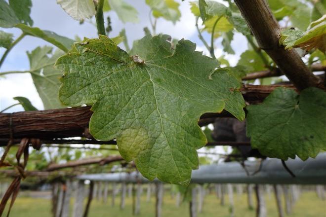 Areeiro incide en extremar o control do viñedo polo mildio ante a previsión de choivas