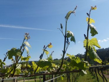 Recomendan aplicar os primeiros tratamentos contra o mildeu na viña