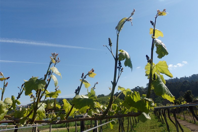 Recomendacións para o coidado da viña durante esta semana