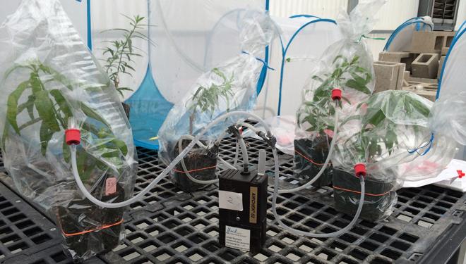 Captura de compostos volátiles de plantas para comprender a comunicación que establecen.