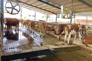 Xornada nunha granxa referente en raza Fleckvieh en España congrega a uns 100 gandeiros