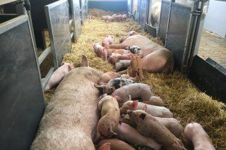 Unha granxa de porcino galega recibe o premio Porc D´Or do Ministerio á mellor de España