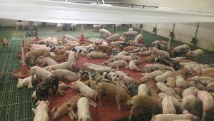 Todas as nais teñen o rabo sen cortar ó igual que os leitóns, ós que tampouco se lle serran os caninos nin se castran.