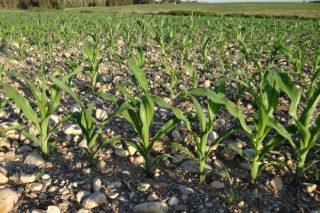 Erros que se cometen na sementeira do millo