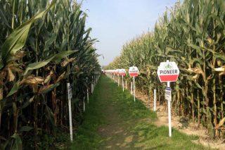 Criterios de selección de híbridos de millo para silo