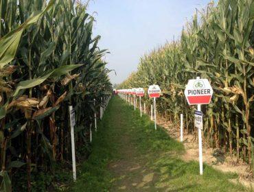 Criterios de selección de híbridos de maíz para silo