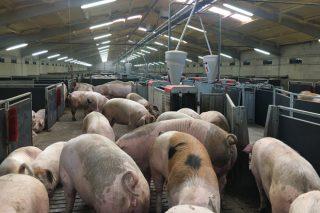 Perspectivas para o sector porcino nos próximos meses