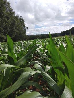 Demostración en campo da eficacia do programa de fertilización integral para millo de ICL