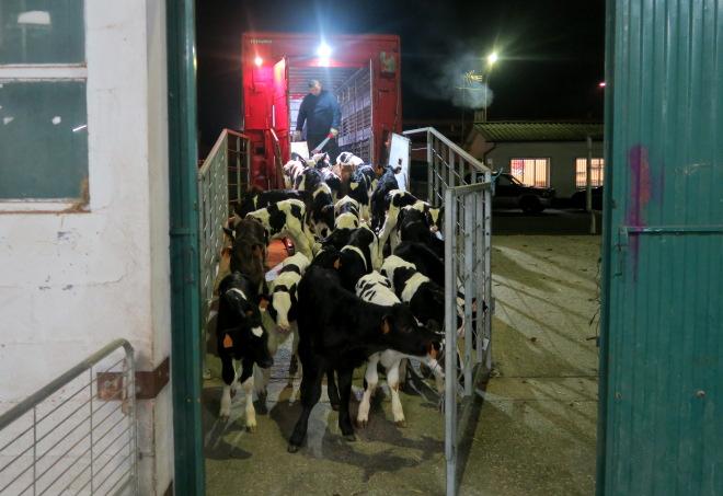 Descarga de becerros no Mercado de Castro Riberas de Lea