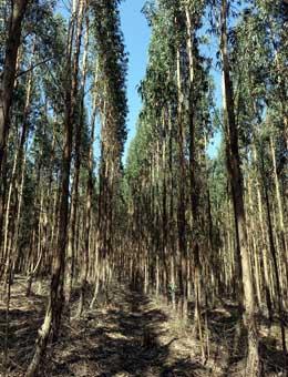 Plantación de eucaliptos de Navigator en Portugal.