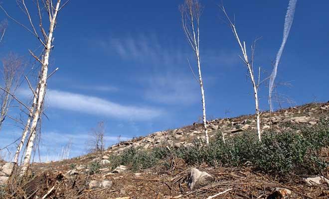 Bidueiros que non sobreviviron ao incendio de Chaín e que formaban parte de piñeiral, que agora se ve substituído por eucaliptos, a maior parte procedentes de semente.