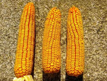 Demostración en campo de la eficacia del programa de fertilización integral para maíz de ICL