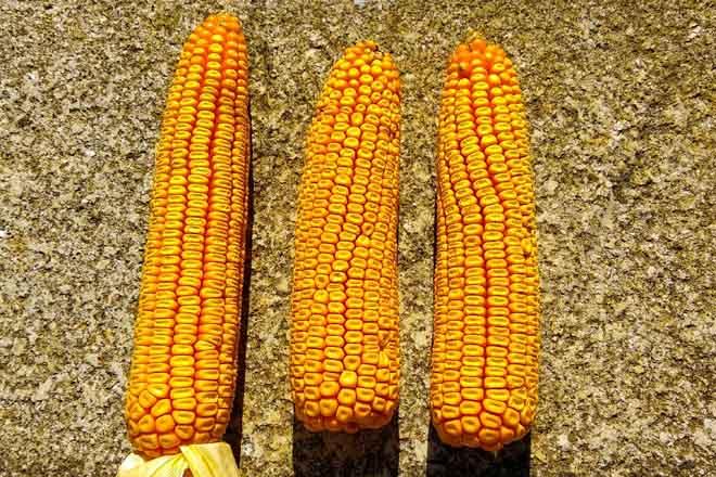 Buenas características del maíz en la cosecha.