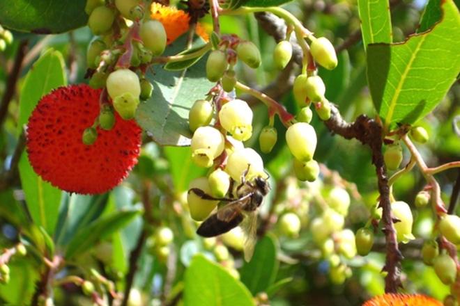 La miel de madroño puede frenar el cáncer de colon
