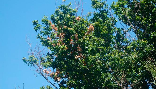 Areeiro urge la retirada de ramas secas de los robles